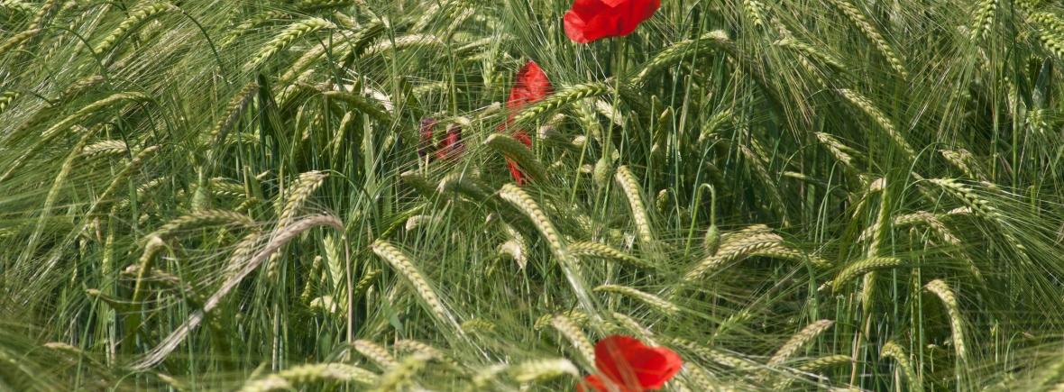 papaveri in campo di grano su sfondo verde brillante