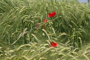 papaveri in campo di grano